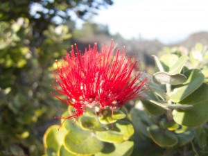 Ohia tree flower