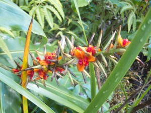 Ornamental ginger flowers