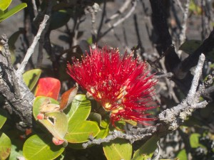 Ohia tree flower redux