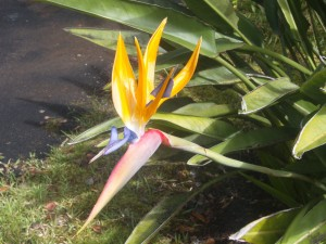 Random picture of a Birds of Paradise outside the lodge