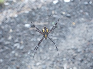 Tropical poisonous spider